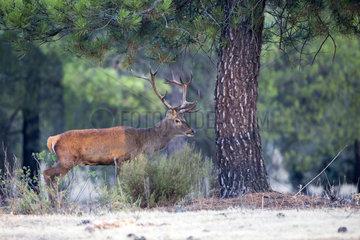 Red deer (Cervus elaphus) male  Cordoba  Andalucia  Spain