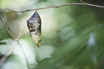 Big chrysalis - Tenorio Volcano National Park - Costa Rica