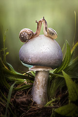 Two snails on a white mushroom  Italy