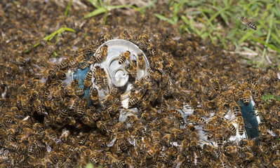Honeybees (Apis mellifera) Swarm in beer cans thrown into the wild  Northern Vosges Regional Nature Park  France