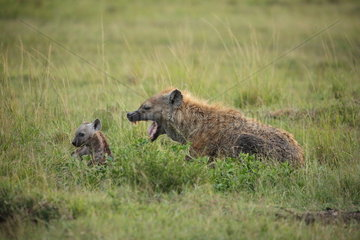 Speckled hyena (Crocuta crocuta) with its cub  Masai Mara  Kenya