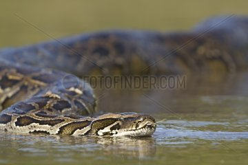 Indian Python in water - Bardia Nepal