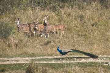 Indian Peafowl and Spotted Deers - Bardia Nepal