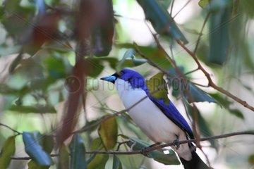 Blue Vanga on a branch - Ankarana Madagascar