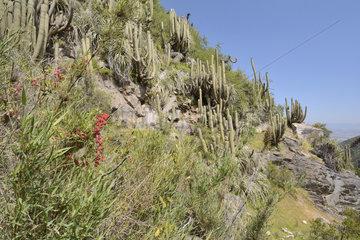 Soldadito rojo (Tropaeolum tricolor)  small climbing vine endemic to Chile  in bloom  on the background of cactus Echinopsis chiloensis  Parque nacional La Campana  V Valparaiso Region  Chile