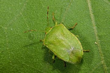 Southern Green Stink Bug (Nezara viridula) adult