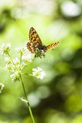 Duke of Burgundy Fritillary (Hamearis lucina) on flower  Luberon Regional Nature Park  Alpes de Haute Provence  France
