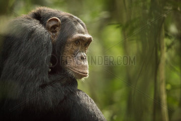 A Chimpanzee (Pan troglodytes) sits and contemplates life in the rainforests of Africa.