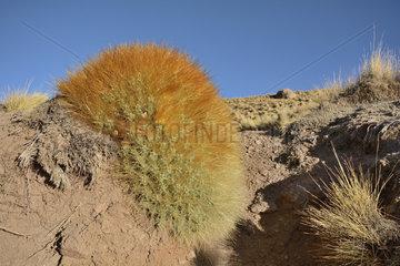 Cactus (Cumulopuntia boliviana ssp. Ignescens)  El Tatio  Puna of Atacama  near San Pedro de Atacama  II Antofagasta Region  Chile