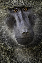 Olive Baboon (Papio anubis). A large male Baboon stands watch in the rainforests of Uganda.