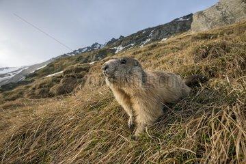 Alpine Marmot (Marmota marmota)  High Tauern  Carinthia  Austria  Europe