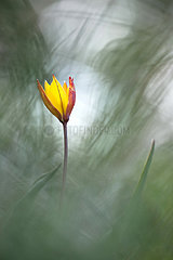 Southern wild Tulip (Tulipa australis) in bloom  Hautes-Alpes  France