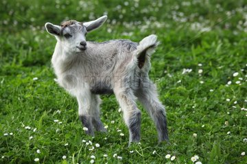 Young goat in the Pisa region - Tuscany