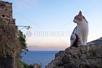 Cat on rock at dusk - Ischia Island Italy