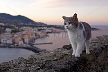 Cat on wall at dusk - Ischia Island Italy