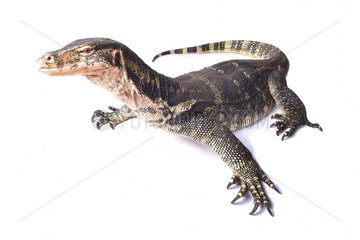The water monitor (Varanus salvator) is a large lizard native to South and Southeast Asia. They range from Sri Lanka and coastal northeast India to Indochina  the Malay Peninsula  and various islands of Indonesia  living in areas close to water. The Asian water monitor are among the largest lizards in the world