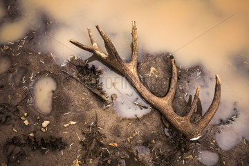 Antler lost by a Red deer (Cervus elaphus) at the edge of a pond  Causse Mejean  Lozère  France