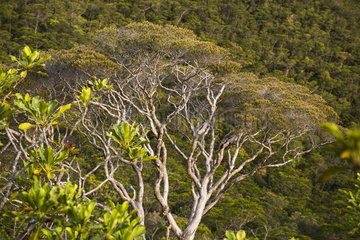 Melaleuca (Melaleuca sphaerodendra) endemic species in the mining scrub  Haute Dumbea Park  New Caledonia