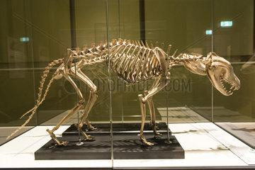 Skeleton of Thylacine (Thylacinus cynocephalus)  Hobart Museum  Tasmania  Australia