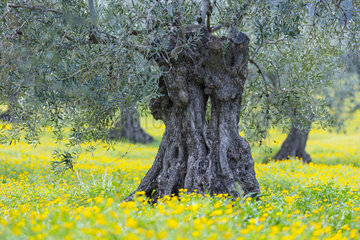 Olive (Olea europaea)  Sierra de las Nieves National Park  Málaga  Andalusia  Spain