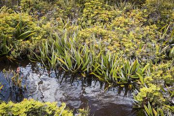 Pineapple grass (Astelia alpina)  Hartz Mountains National Park  Tasmania  Australia