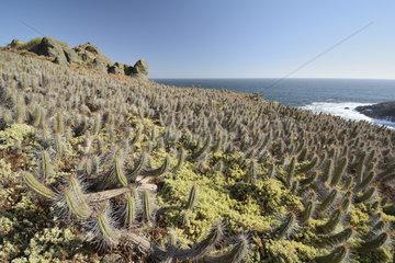 Copao de Philippi (Eulychnia castanea)  endemic to Chile  Puquen Nature Reserve  Los Molles  La Ligua  V Valparaiso Region  Chile