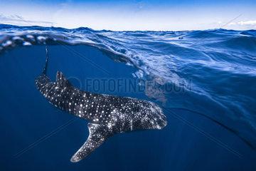 Whale shark (Rhincodon typus) under the surface  Nosy Be  Madagascar