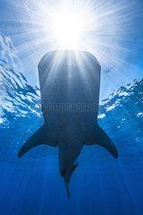 Whale shark (Rhincodon typus) in daylight  Nosy Be  Madagascar