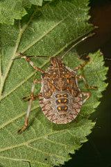Brown marmorated stink bug (Halyomorpha halys) 5th instar larva