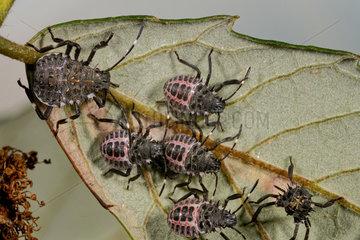 Brown marmorated stink bug (Halyomorpha halys) larvae