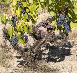 Clusters of grapes on vine stock  Muscat de Beaumes-de-Venise  old vines  Vaucluse  Provence  France