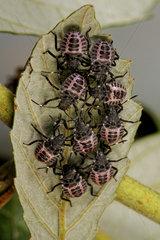 Brown marmorated stink bug (Halyomorpha halys) 3rd instar larvae