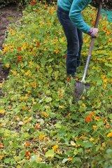 Nasturtium green manure in a garden