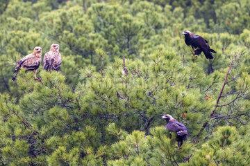 Spanish imperial eagle (Aquila adalberti) family on a pine tree  Cordoba  Spain