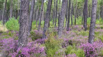 Maritime pines of Landes and heather  Landes forest  France