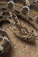 Egyptian saw-scaled viper (Echis pyramidum) on sand  Egypt
