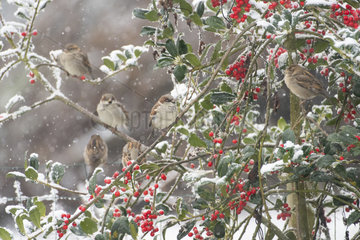 House Sparrow (Passer domesticus) perched in a holly under the snow  Lorraine  France