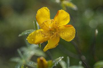 Hypericum (Hypericum lanceolatum) flower  Piton de la Fournaise  La Reunion island