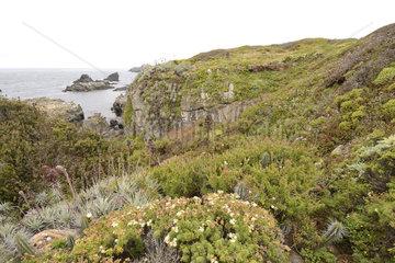 Vegetation on the Pacific coast in spring  Puquen Nature Reserve  Los Molles  La Ligua  V Valparaiso Region  Chile