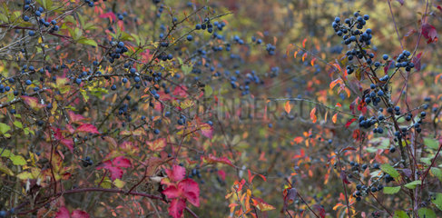 Blackthorn (Prunus spinosa) in a hedge in autumn  Regional Natural Park of Northern Vosges  France