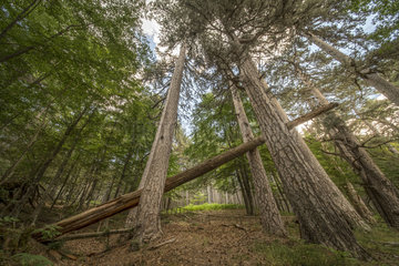 Fallen pine  La Sila national park  Cosenza  Italy