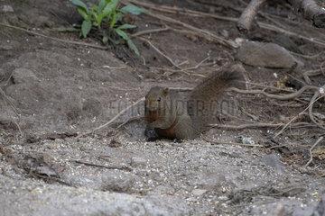 Pallas squirrel (Callosciurus erythraeus) on the ground  Gaoligongshan  Yunnan  China