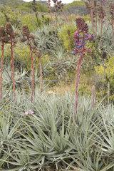 Chagual chico (Puya venusta)  spring inflorescences  Puquen Nature Reserve  Los Molles  La Ligua  V Valparaiso Region  Chile