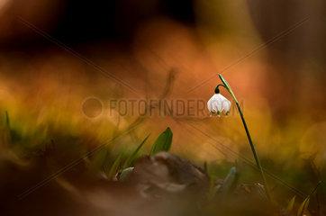 Spring snowflake (Leucojum vernum) flower in undergrowth