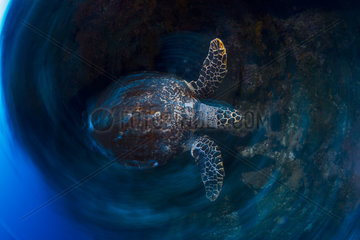 Hawksbill Turtle (Eretmochelys imbricata) in motion  South Boat Pass  Mayotte