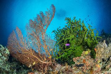 Giant Sea Fan (Annella mollis) and Black Sun coral (Tubastraea micranthus) on reef  Dauin  Philippines