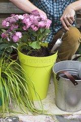 Plantation of hydrangea in pot on a garden terrace