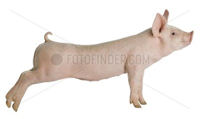 Large White piglet stretching on white background