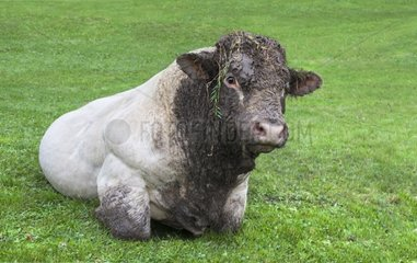 Young Charolais bull dirty head lying in the grass