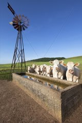 Charolais before a trough of water pumped by a windmill